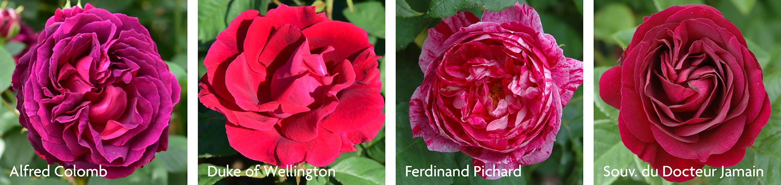 Hybrid Perpetual Roses