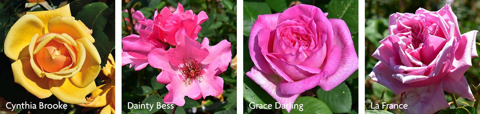 Hybrid Tea Roses - older varieties