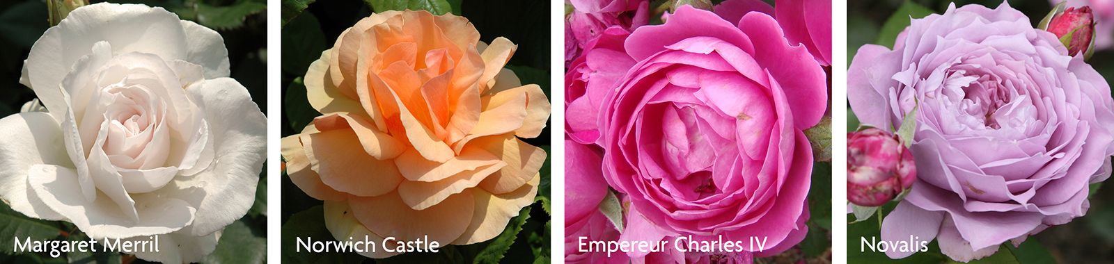 Modern Floribunda Roses