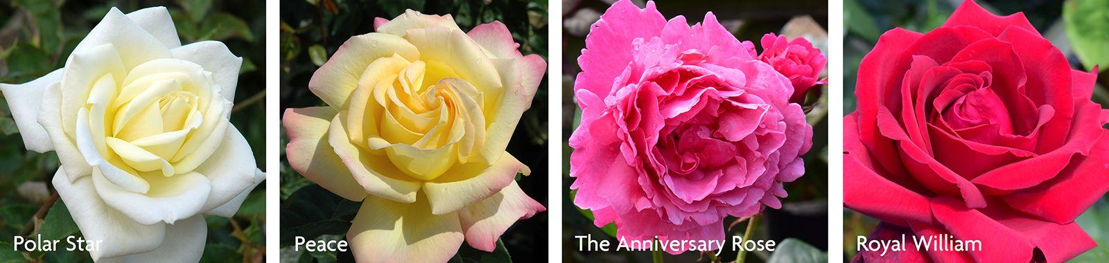 Modern Hybrid Tea Roses