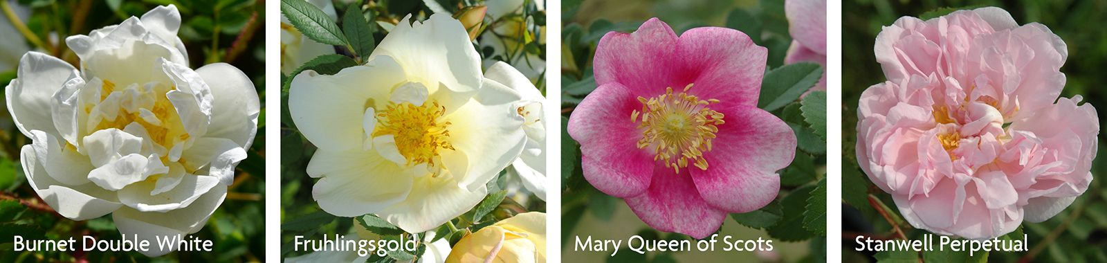 Pimpinellifolia Roses