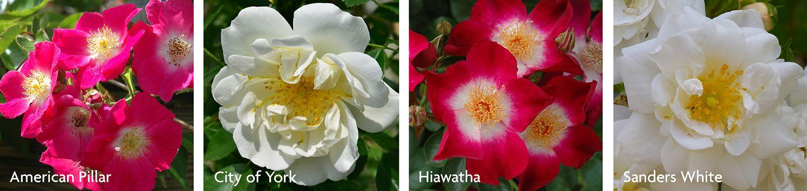 Wichurana Roses