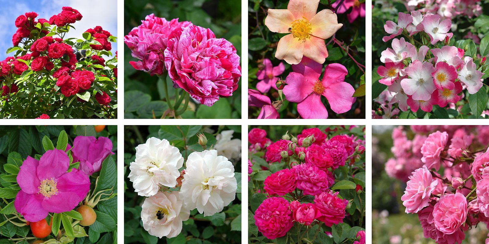 Rose Families