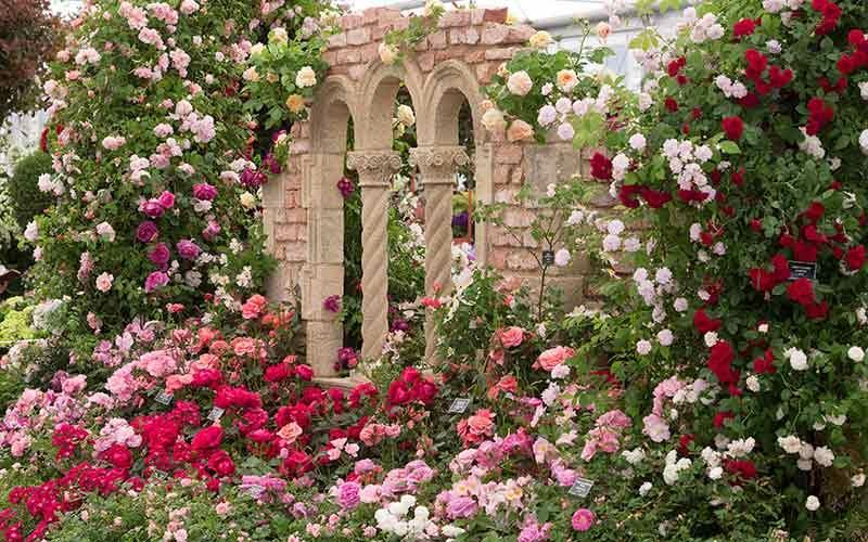 All Roses | Peter Beales Roses - the World Leaders in Shrub ...