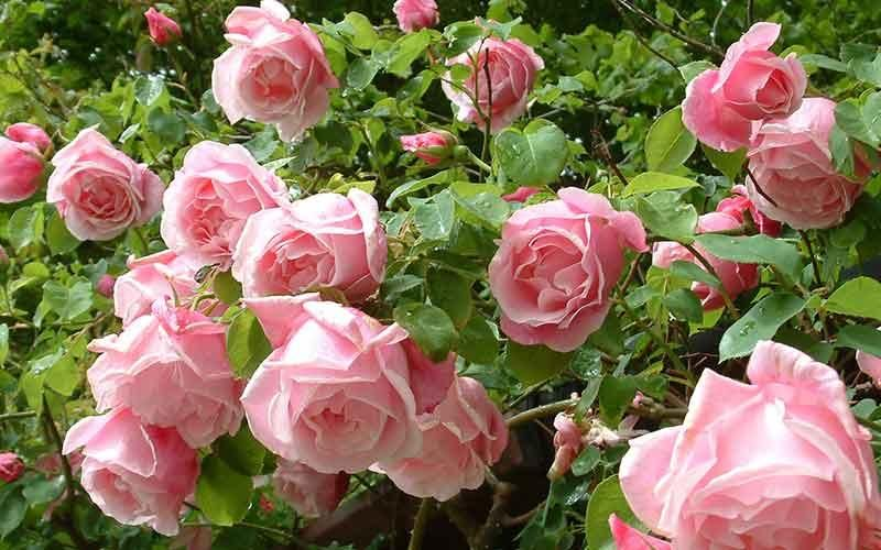 Climbing roses roses peter beales roses the world leaders in climbing roses mightylinksfo