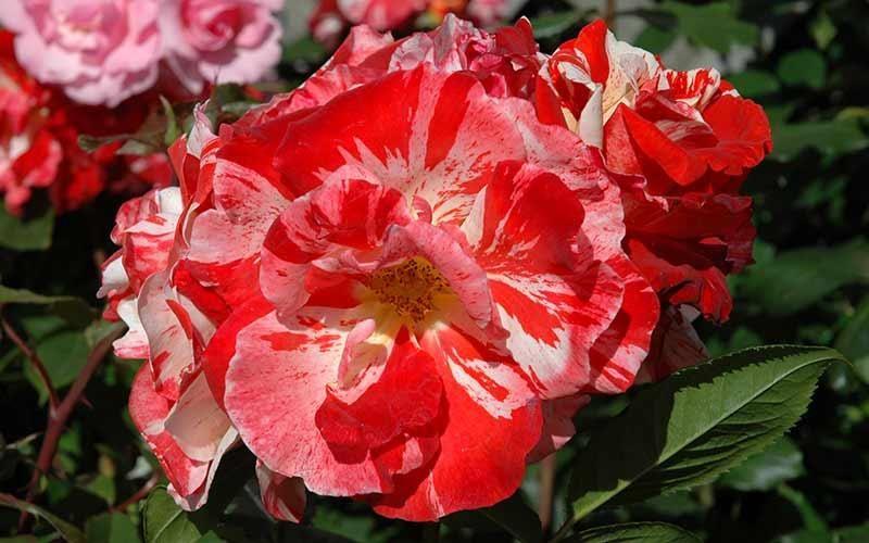Floribunda roses