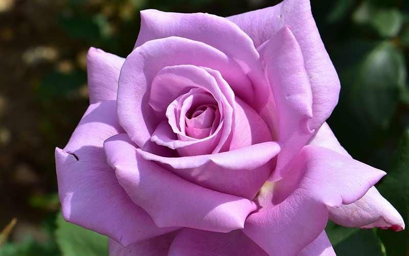 Twice in a Blue Moon Hybrid Tea Roses