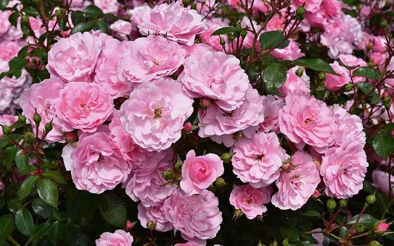 Bonica Procumbent Roses