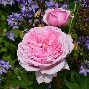 Planting for colour, scent and impact